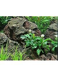 green wavy loose rhizome freshwater live aquarium plants