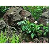 Loose Rhizome Bucephalandra Green Wavy AquariumPlantsFactory Freshwater Live Aquarium Plants BUY2GET1FREE