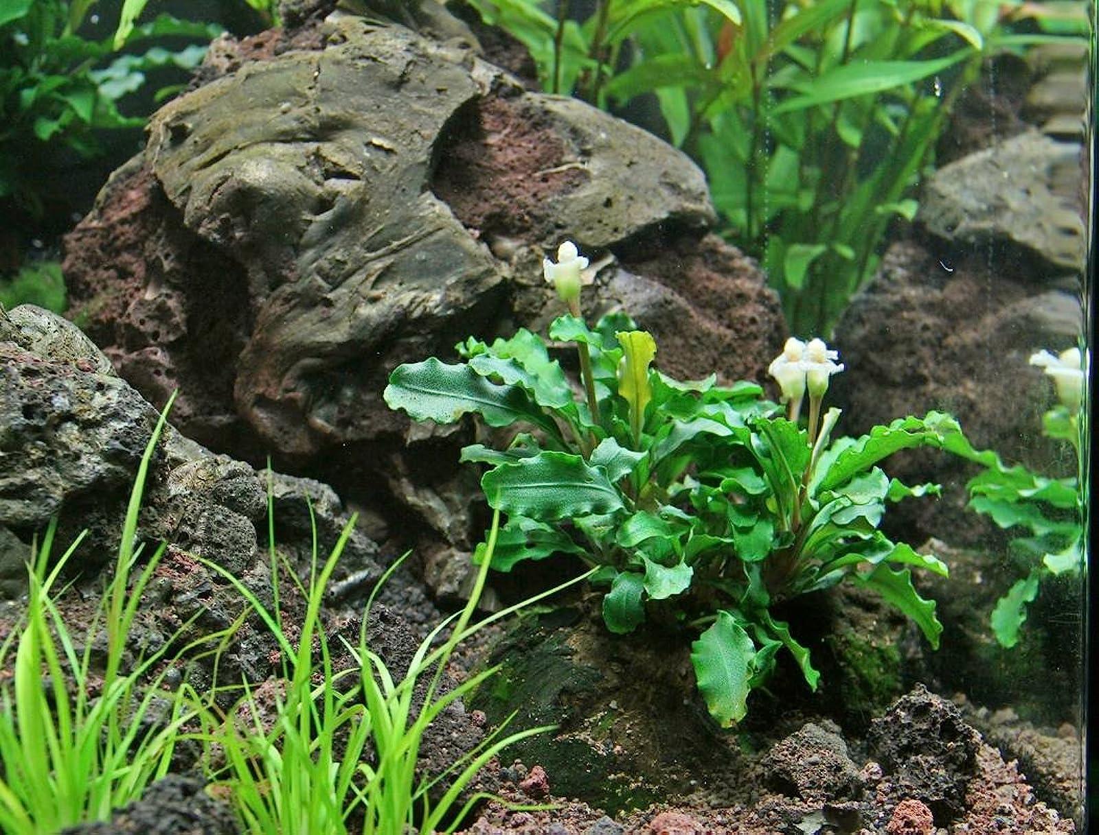 Aquarium Plants Factory 3 x Bucephalandra Green - 9