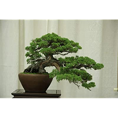 25 Seeds Chinese Juniper Tree Seeds Juniperus Chinensis Bonsai Ornamental Landscape Tree Seeds for Planting #BDC-RR : Garden & Outdoor
