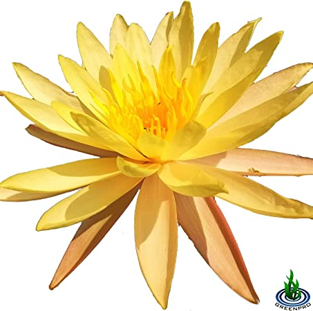 Large aquatic garden or ponds Lovely Yellow Nymphaea water lily for Medium