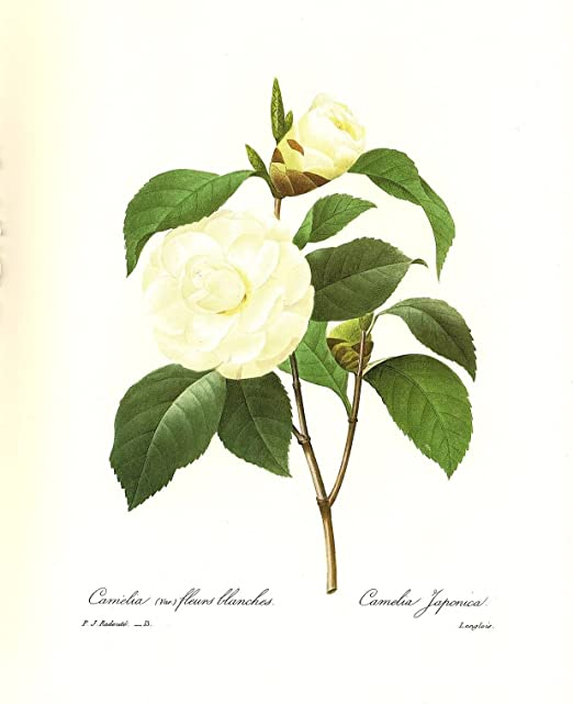 1991 Vintage REDOUTE FLOWER #15 WHITE CAMELLIA JAPANESE Color Art Lithograph