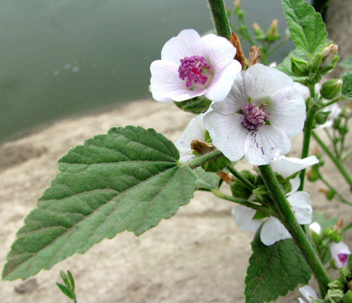 Marsh Mallow Medicinal Herbs for Planting Althaea officinalis SeedsUA