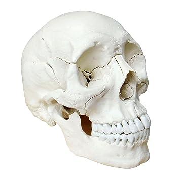 S24.2172 Osteopathie Schädel, 22 teilig, anatomische Version ...