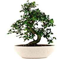 The Bonsai Plants Delightful Chinese Elm Bonsai Live Plant
