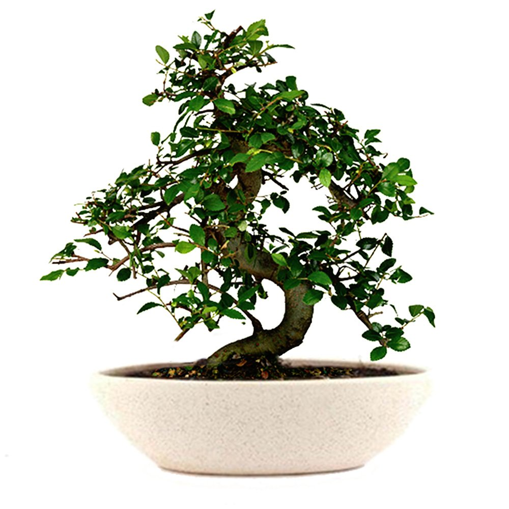 Home & Office - Bonsai Plant