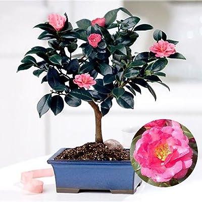Mggsndi 10Pcs Chinese Green Tea Tree Seeds Camellia Sinensis Garden Bonsai Plant Flower - Heirloom Non GMO - Seeds for Planting an Indoor and Outdoor Garden : Garden & Outdoor