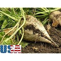 AGROBITS 30 semi: Usa venditore Barbabietola da zucchero 30-500 Semi Heirloom NON OGM