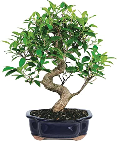 Amazon Com Brussel S Live Golden Gate Ficus Indoor Bonsai Tree 7 Years Old 8 To 10 Tall With Decorative Container Garden Outdoor
