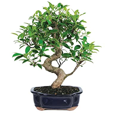 Brussel's Live Golden Gate Ficus Indoor Bonsai Tree - 7 Years Old; 8  to 10  Tall with Decorative Container