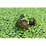 DuckWeed - 1 Large TableSpoon (70 Grams) - Oxygenating plant