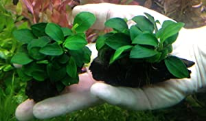 Anubias barteri var. nana petite for small tanks