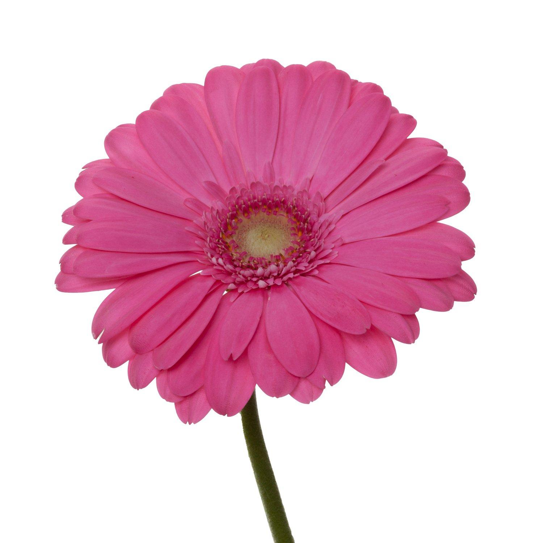 Gerbera Light Center | Pink - 80 Stem Count by Flower Farm Shop