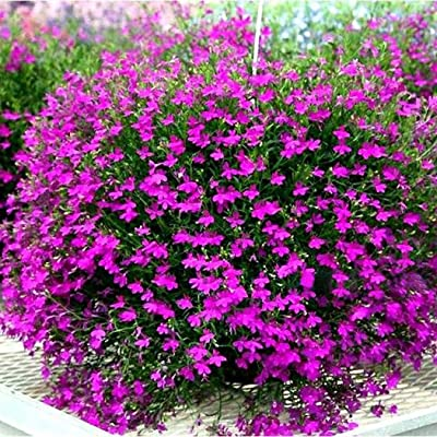 Earth Seeds Co 10 Pcs Lobelia erinus Seeds Half-Hardy Annual, Beautiful Colours Flowers bee Seeds Ideal for beds, Borders, Patio containers and Hanging Baskets : Garden & Outdoor