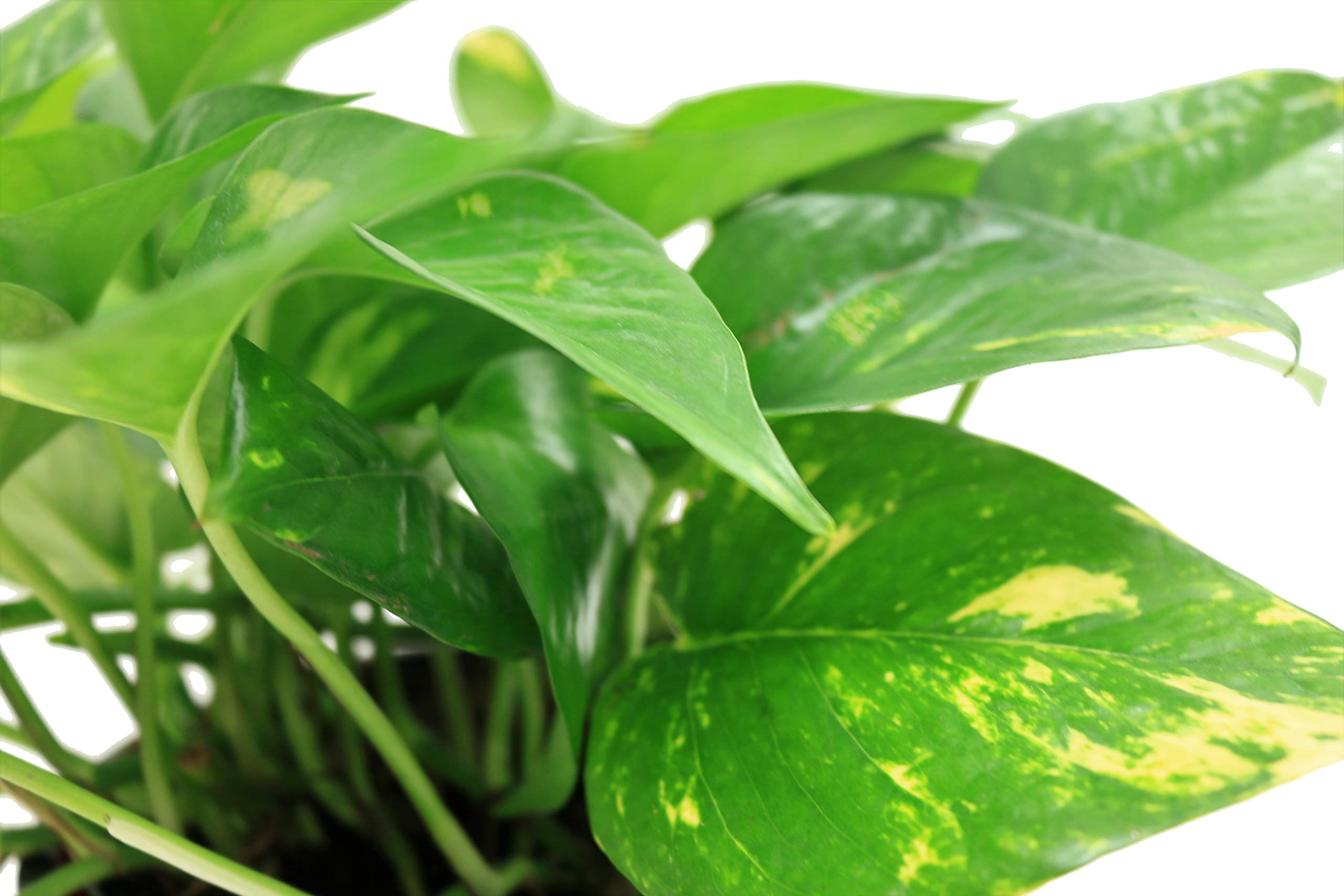 Costa Farms Golden Pothos Devil's Ivy Live Indoor Plant, 6-Inch, Ships in Grower's Pot by Costa Farms (Image #3)