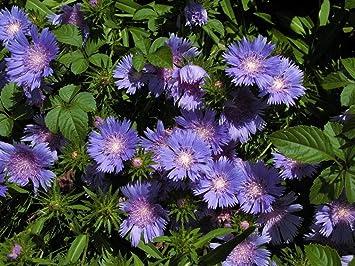 Shoopy Star Pinky Bells Abelia Grandifolia Lavenderpink Blooms