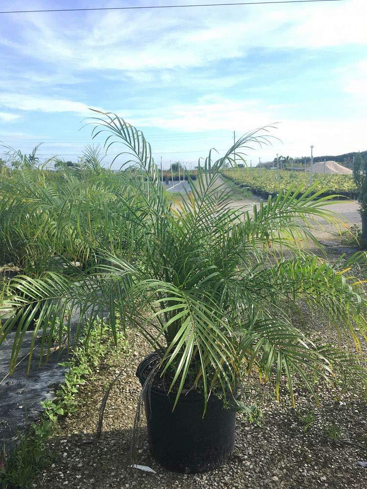 Phoenix roebelenii, Pygmy Date Palm, Roebelenii Palm - 3 Gallon Live Plant by PlantVine (Image #3)