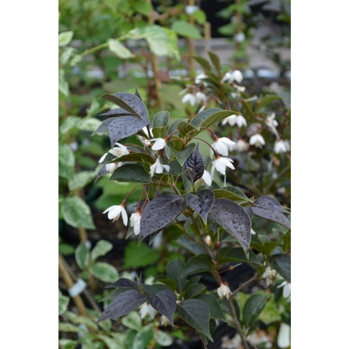 Black Leaved Japanese Snowbell - Styrax japonicus 'Evening Light' - 2 - Year Live Plant