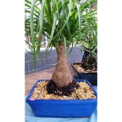 Ponytail Palm Bonsai Tree: Garden & Outdoor
