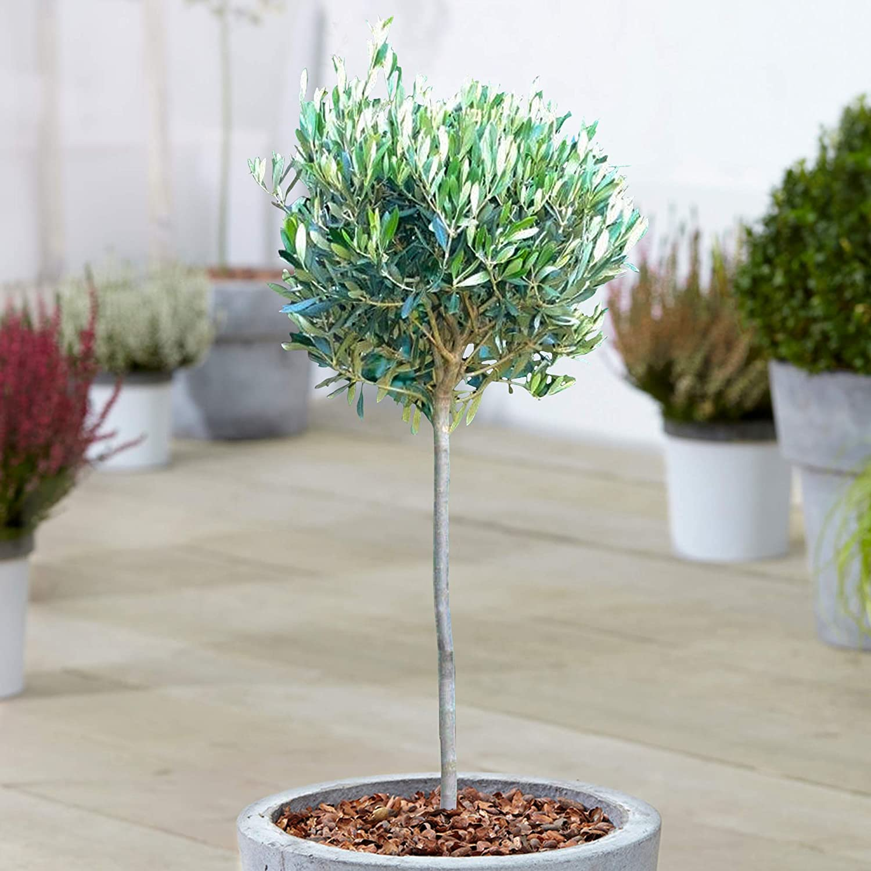 Olive Trees Standard Pair Hardy Mediterranean 70-80cm tall Border Patio Pot