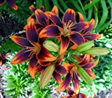 Forever Susan Asiatic Lily 3 Bulbs 14/16 cm