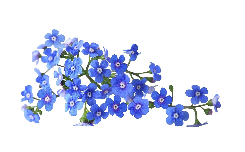 10g 15,000 Seeds Forget-Me-Not Seeds Myosatis arvensis Wild Flower Fresh Meadow by Pretty Wild Seeds Bulk Wholesale