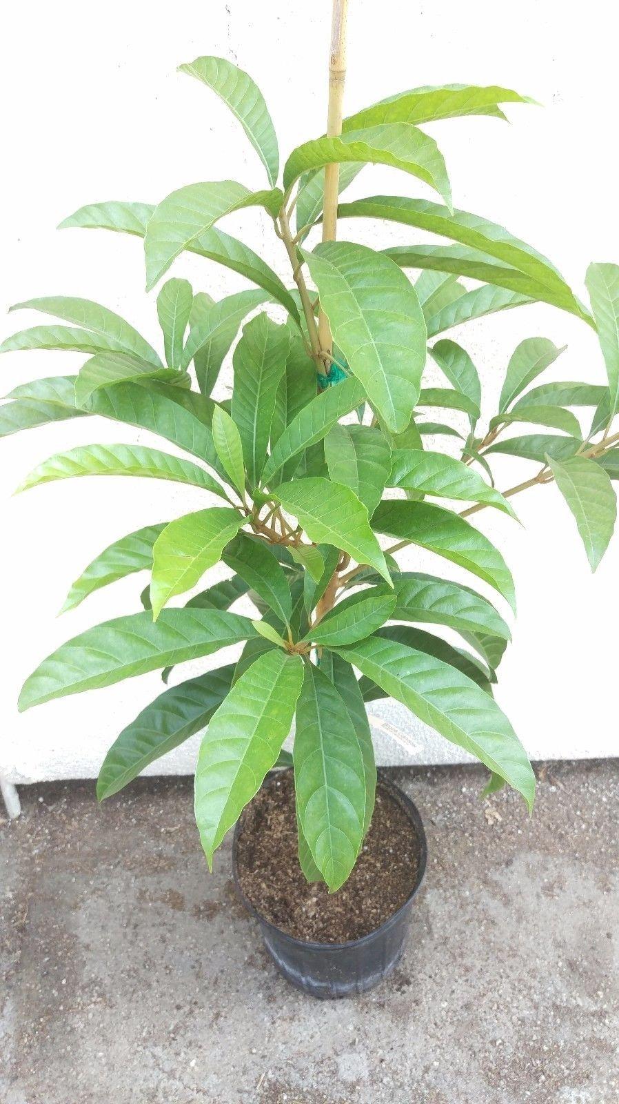 Bruce canistel (Eggfruit) Tropical Fruit Trees by bluestargarden168