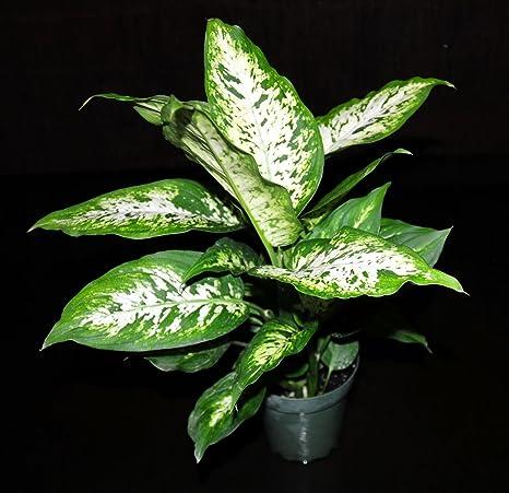 Amazon.com : ffenbachia Compacta Live Tropical Houseplant ... on