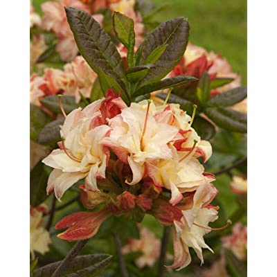 "AchmadAnam- 2.5"" Pot - Deciduous Exbury Azalea Cannon's Double - Very Hardy, Plant, Tree, Bulb : Garden & Outdoor"