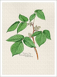 Arthouse Botanical Illustration of Poison Ivy from The Wildflowers Group, Giclee Print, 7 X 9.5 Inches
