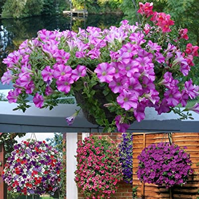 Civilys Flower Seed All Seasons Species Dwarf Petunia Seed Plant Seeds Flowers (17) : Garden & Outdoor