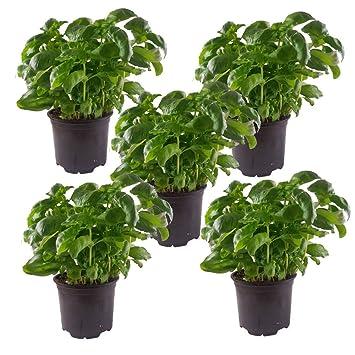 Basilikum Mit Großen Blättern 5 Pflanzen Basilikum Pflanze Im