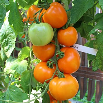Tomaten Tiger Mittlere Guter Geschmack 50 Saatgut Seeds