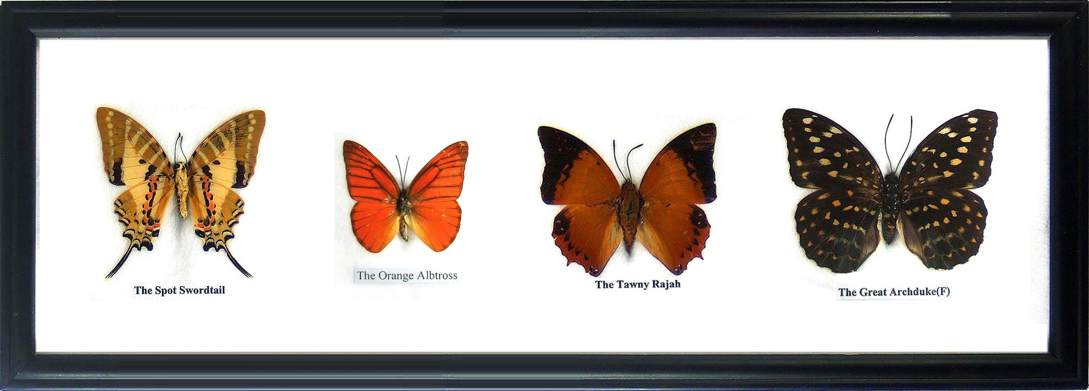 Set 3 x 4 Real Butterfly Display Taxidermy in Horizontal Frame for Collectible Gift by Thai Productz