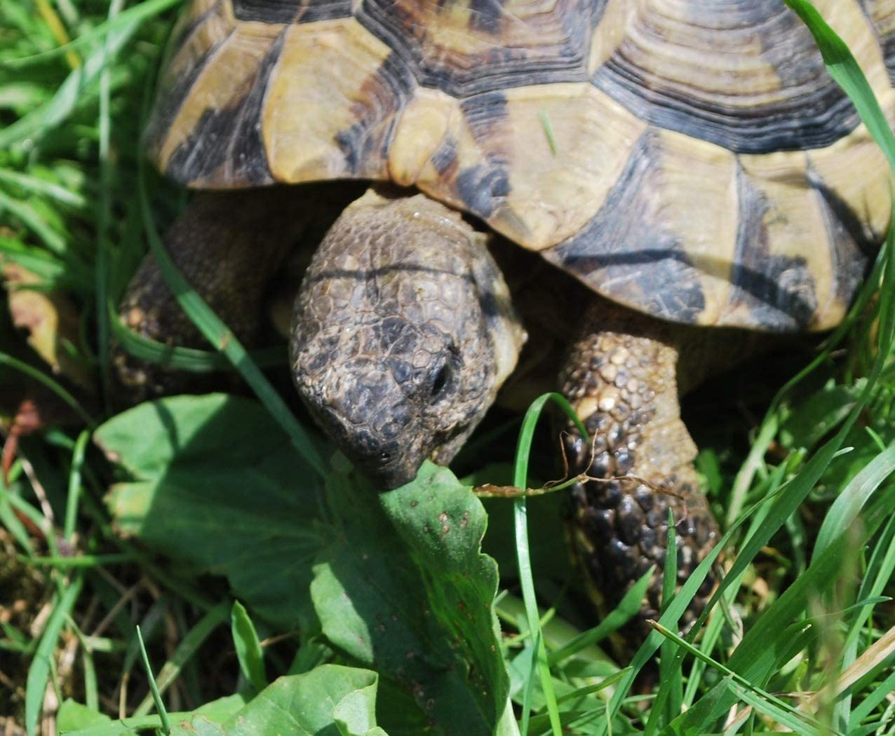 Russian Tortoise Forage Mix Seeds Grow Tort & Herbivore Fodder Plot bin281 (4,750 Seeds, or 1/4 oz)
