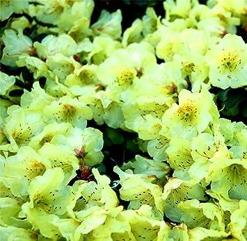 Pot de 9 cm Rhododendron Curlew AGM Grandes Fleurs Jaune Jardin buissons