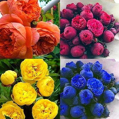 Lioder 20pcs/ Bag Peony Flowers Seeds Mixed Rare Peony Ranunculus Flower Seeds Home Garden Flower Flowers : Garden & Outdoor