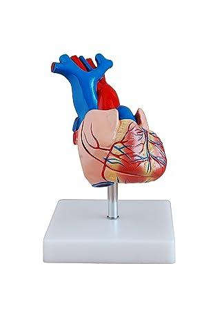 HEART MODEL - LIFE-SIZE HUMAN ANATOMY MODEL: Amazon.co.uk: Health ...