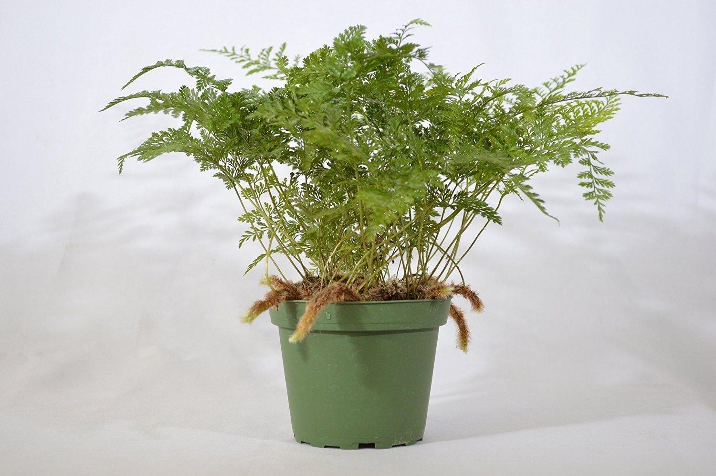 "Picture of Live Rabbit Foot Fern aka Davalia Trichomanoides Plant Fit 4"" Pot"