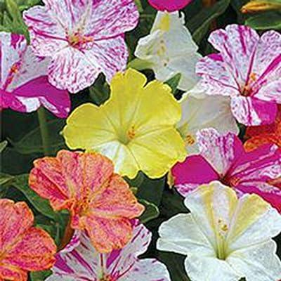 20 Four-o'clock Flower Mirabilis Jalapa Linn. Flower Seeds : Garden & Outdoor