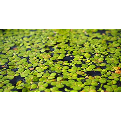 100 LIVE DUCKWEED PLANTS (LEMNA MINOR): Toys & Games