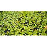 100 LIVE DUCKWEED PLANTS (LEMNA MINOR)