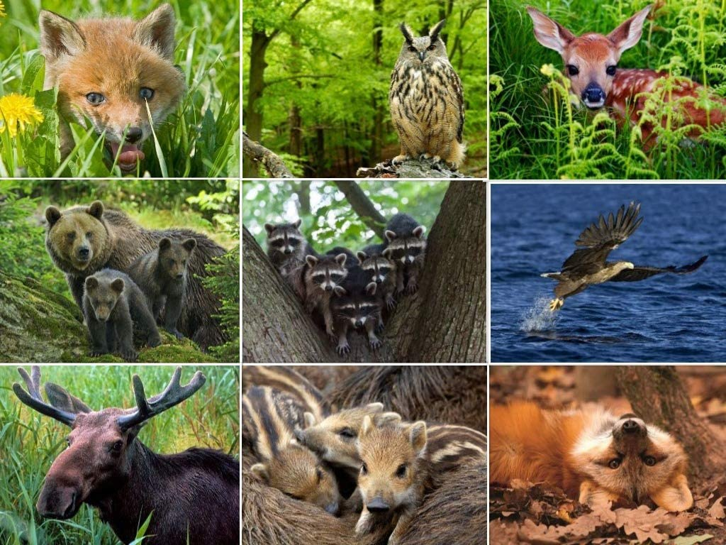 Set de tarjetas postales de 3 d:Animales Salvajes Europea (9 x 3 ...