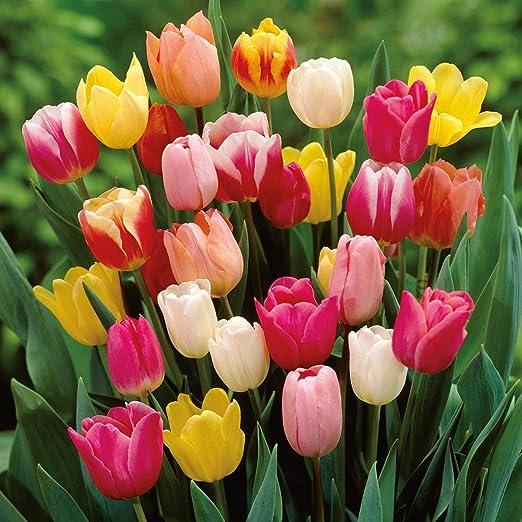 Fiori Di Primavera.Portal Cool 100 Alto Misto Tulipani Qualita Superiore Giardino