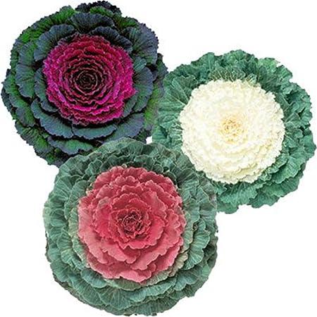 Amazon Com Flowering Kale Ge Ornamental Cabbage Brassica