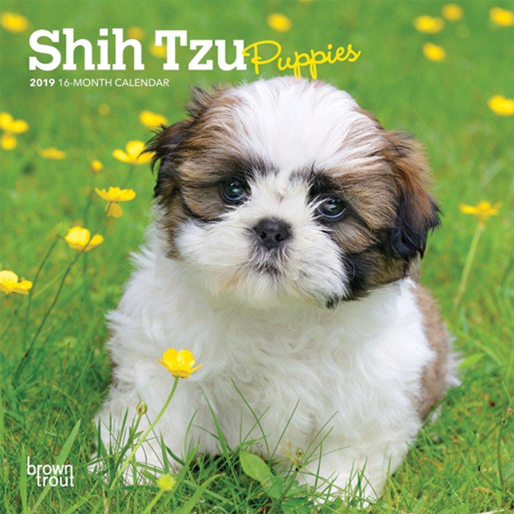 Shih Tzu Puppies 2019 Calendar Amazonde Inc Browntrout