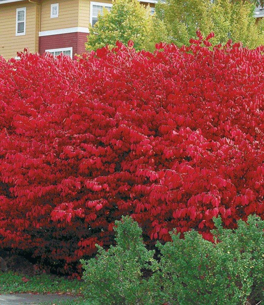 BALDUR Garten Euyonimus pact Burning Bush Spindelstrauch 3