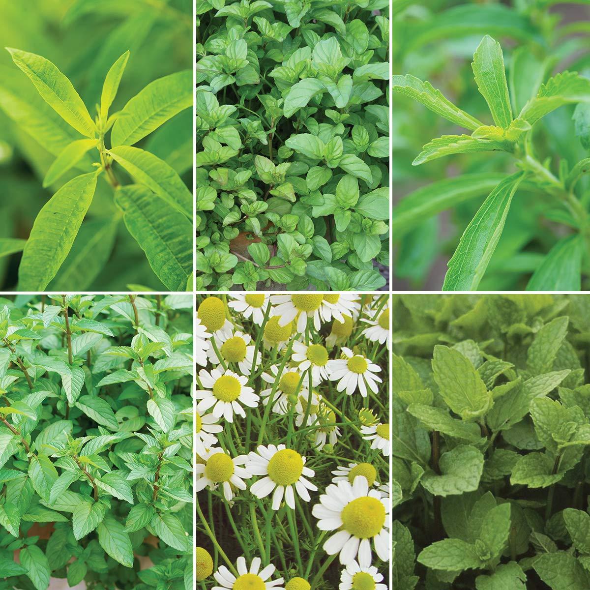 Burpee Tea Lovers' Herb Collection (Verbena Lemon, Peppermint, Chocolate Honey Dip Stevia, Roman Chamomile & Kentucky Colonel Mint), 6 Live Plants 2 1/2'' Pot