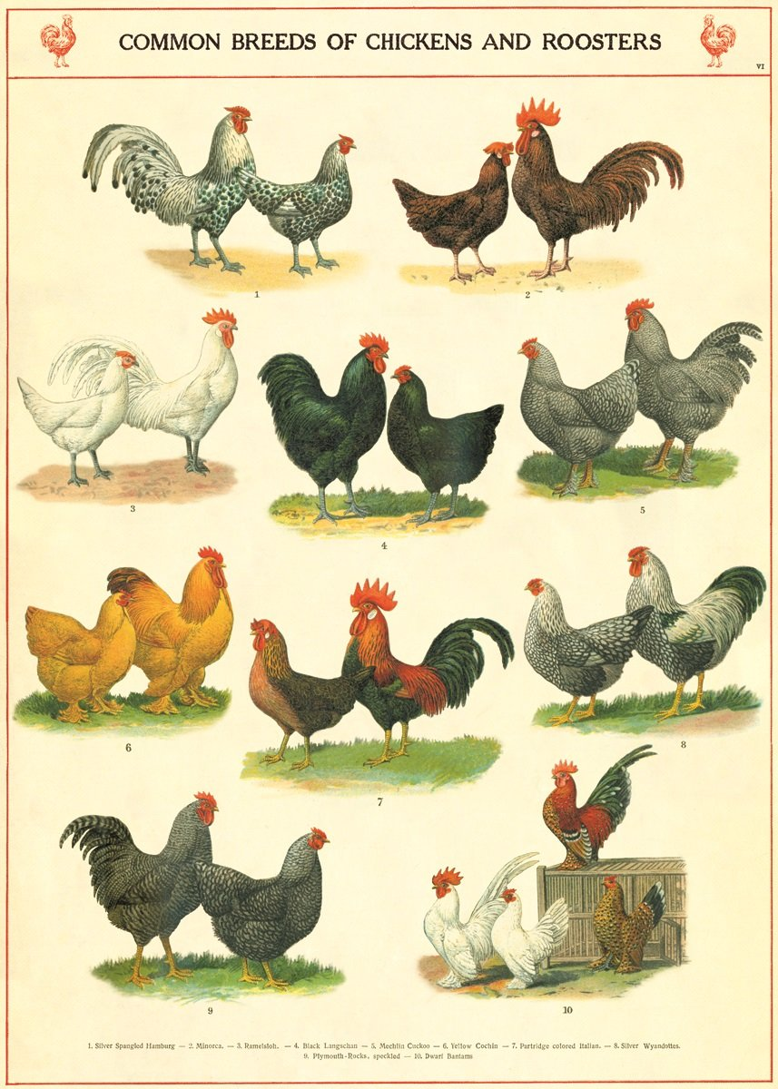 Decorative Chickens For Kitchen Amazoncom Cavallini Co Chickens And Roosters Poster Wrapping