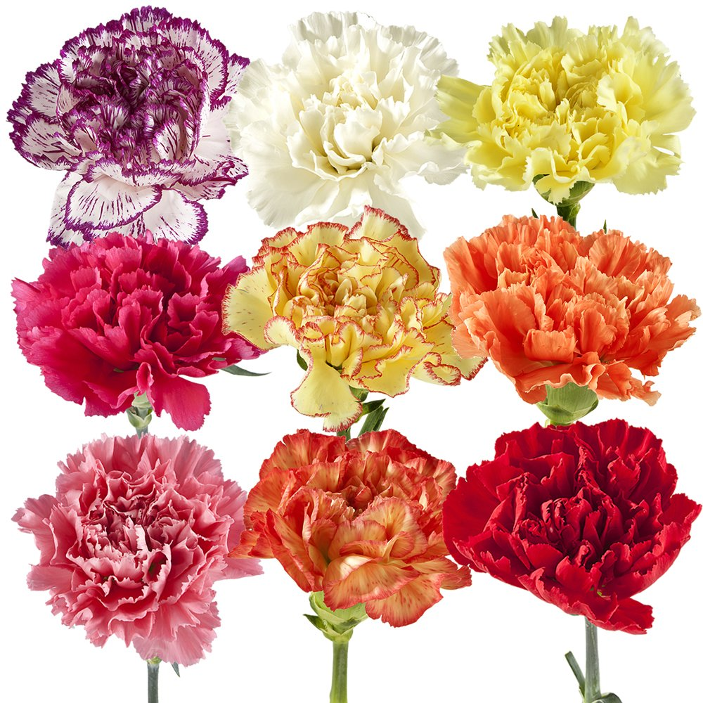 Amazon Wholesale Carnations 300 Assorted Fresh Cut Format